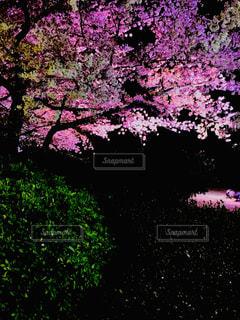桜,夜,屋外,ピンク,緑,紫,夜桜,樹木,ライトアップ,鮮明,景観,草木