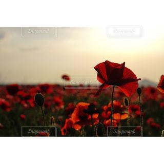 自然,空,花,赤,ポピー,季節の花