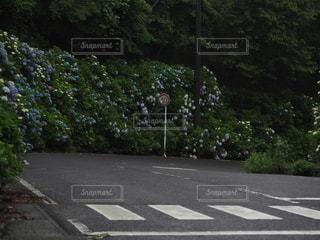 紫陽花と道路標識の写真・画像素材[3401217]