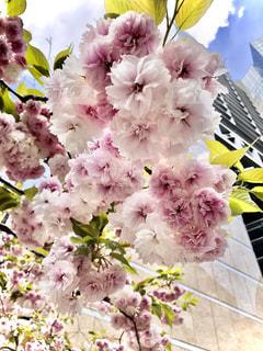 都会の桜の写真・画像素材[3250290]