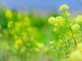 自然,花,春,緑,綺麗,黄色,菜の花,癒し,美