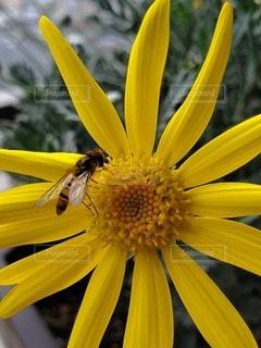花,黄色,蜂,昆虫,花粉,ベランダガーデニング