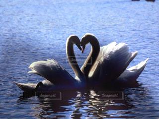 二羽で泳ぐ白鳥の写真・画像素材[3232087]