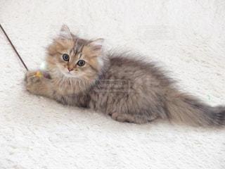 おもちゃで遊ぶ子猫の写真・画像素材[3226088]
