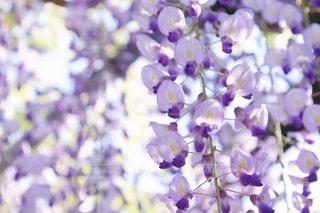 紫色の花のクローズアップの写真・画像素材[3596459]