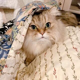 ベッドに座っている猫の写真・画像素材[4101102]