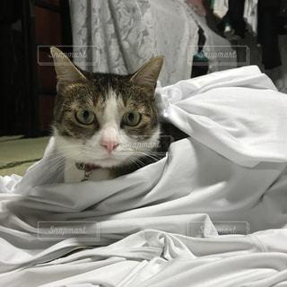 シーツをまとった猫の写真・画像素材[3230014]