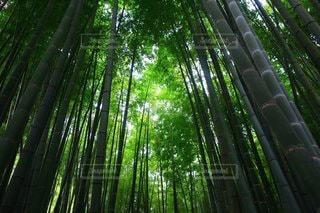 竹林の写真・画像素材[3268510]