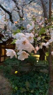 庭園に咲く桜の写真・画像素材[3256433]