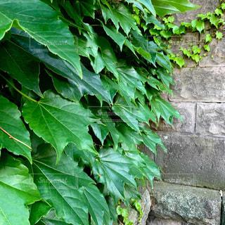 ツタが生い茂る壁 スクエア画像の写真・画像素材[3261786]
