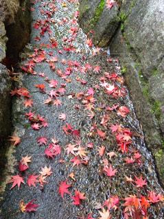 小川に流れる紅葉の写真・画像素材[3269165]