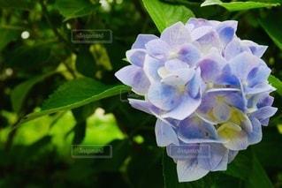 花のクローズアップの写真・画像素材[3390156]