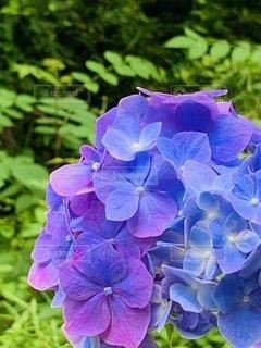 紫色の花のクローズアップの写真・画像素材[3456908]