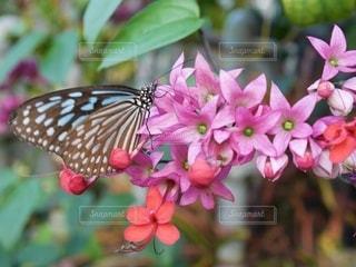 ピンクの花と蝶の写真・画像素材[3571985]