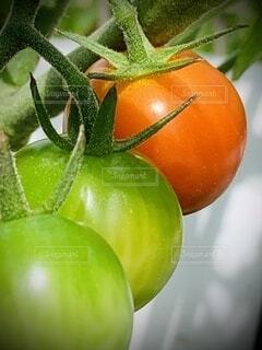 食べ物,屋外,緑,赤,野菜,ミニトマト,食品,グリーン,家庭菜園,新鮮,畑,3つ,食材,夏野菜,フレッシュ,ベジタブル,ヘタ
