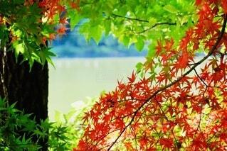 緑と赤い葉の写真・画像素材[3822727]