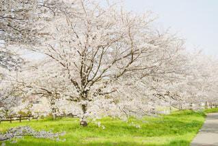 桜並木の写真・画像素材[4292500]