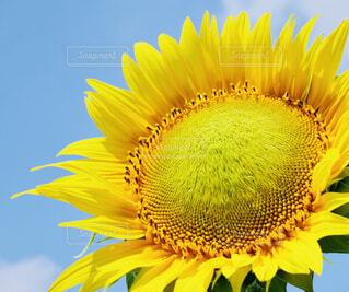向日葵のクローズアップの写真・画像素材[4295533]