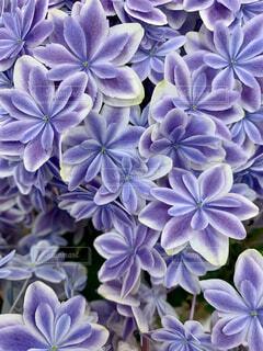 紫色の花のクローズアップの写真・画像素材[4556257]