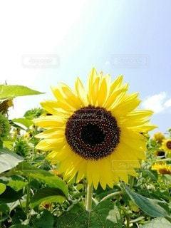 真夏の向日葵の写真・画像素材[3228908]