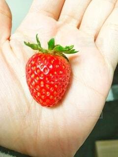 食べ物,屋内,赤,かわいい,手,苺,手のひら,果物,野菜,人,食品,ベリー,手作り,収穫,食材,フレッシュ,手元,ベジタブル,イチゴ,1粒