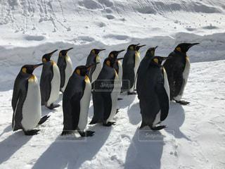 雪の中のペンギンの写真・画像素材[3231662]