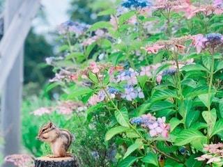紫陽花とリスの写真・画像素材[3375790]