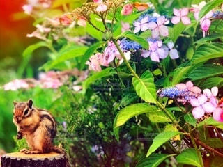 紫陽花とリスの写真・画像素材[3376133]