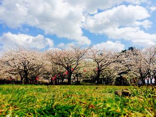 桜の木の下での写真・画像素材[3250369]