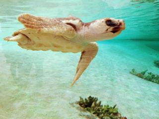 水の下で泳ぐカメの写真・画像素材[3244939]