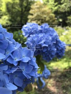 紫陽花7の写真・画像素材[3386768]