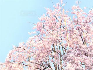 自然,空,花,桜,木,ピンク,浅草,水色,浅草寺,枝垂れ桜