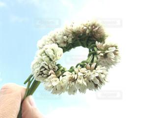 白詰草のミニ冠の写真・画像素材[1159506]