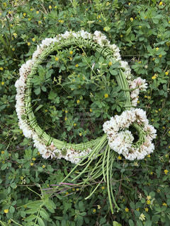 白詰草の冠の写真・画像素材[1165077]