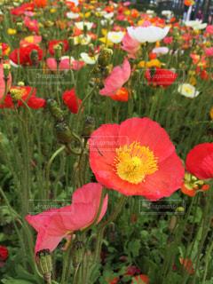 春のディズニーランドの写真・画像素材[1165793]