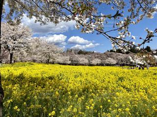 桜といっぱいの菜の花の写真・画像素材[3250752]