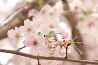 自然,花,春,桜,木,ピンク,枝,花見,満開,お花見,イベント,蕾,クローズアップ,草木,桜の花,さくら,ブルーム,ブロッサム