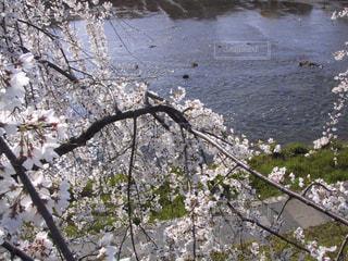 自然,風景,桜,京都,景色,旅行,鴨川