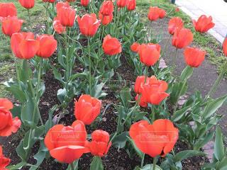 赤い花の写真・画像素材[3245793]