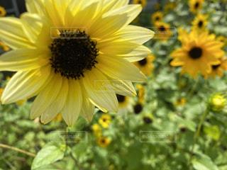 庭のひまわりの写真・画像素材[3508806]