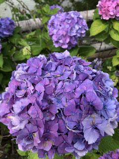 紫色の花のクローズアップの写真・画像素材[3374533]