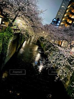 夜桜の写真・画像素材[3247225]