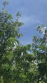 空,夏,屋外,樹木,熱中症,みつ,栗の木,激アツ,(´Д` ),あははははははは〜,最高だな,夏の栗(´Д` )