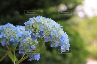 水色の紫陽花の写真・画像素材[3253411]