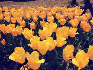 黄色のチューリップの写真・画像素材[3255681]