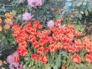 チューリップの花園の写真・画像素材[3261875]
