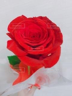 真っ赤なバラの写真・画像素材[3267236]