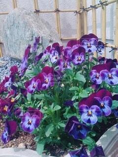 紫色のパンジーの写真・画像素材[3268096]