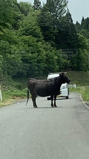 動物,散歩,牛,道路,田舎,樹木,馬,農業,通り,整列,農家,ウシ,逃げた牛