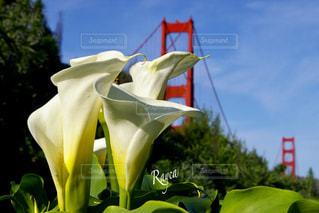 カラーとゴールデンゲートブリッジの写真・画像素材[3314125]